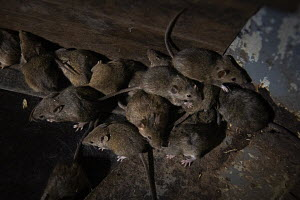 Rodent Rampage