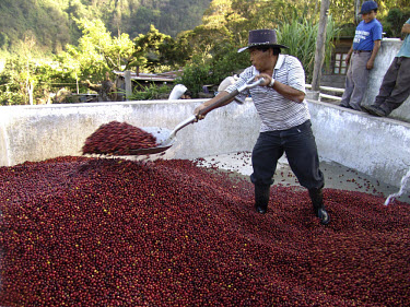 Man shovelling ripe organic coffee berries before they are processed.