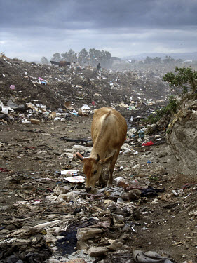 Cows forage on a rubbish dump on the outskirts of the capital.