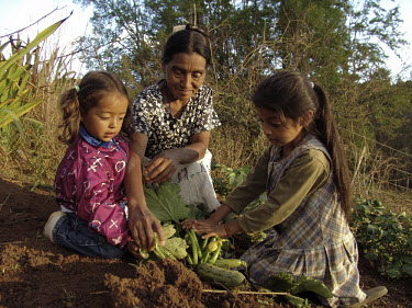 A grandmother and two girls harvesting squash.