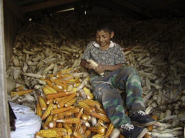 Boy removing maize grains from the husk.