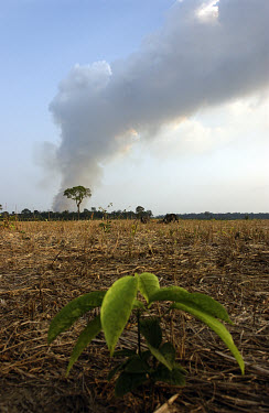 A tree sapling grows in a clearing created by the felling and burning of the Amazonian rainforest along the BR163 highway as smoke rises from further clearance taking place in the distance. The road s...