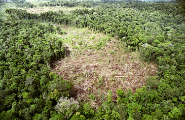 A felled section of rainforest in a large-scale logging venture. The area is being flattened in order to plant sugar palms.
