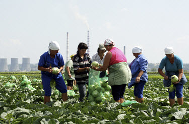 Workers harvest cabbage on a farm, with an industrial plant in the background.