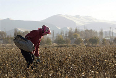 Farmers work on cotton fields in Mingshan village in Western Gansu Province.