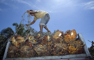 Workers load bushels of palm oil kernels on to a truck for shipment to a refinery in Kuala Cenaku.