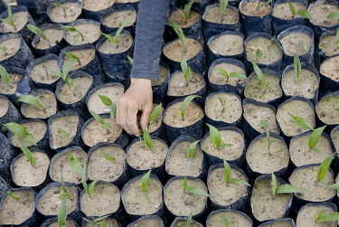 A worker carefully tends to newly planted palm oil shoots at a nursery in the Duta Palma plantation.