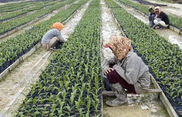 Workers carefully tend to newly planted palm oil shoots at a nursery in the Duta Palma plantation.