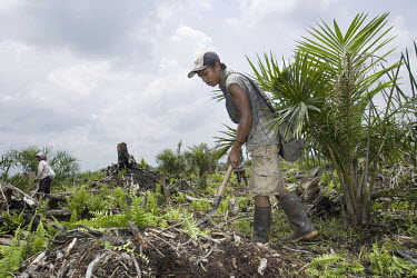 23 year old Rahmad clears debris from the area around young palm oil plants in the Duta Palma Plantation. Rahmad earns 28,000 Rupiah a day for his labour, about USD 3.50.