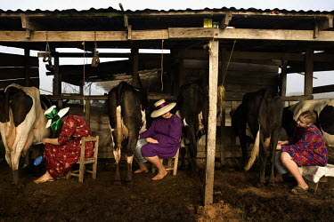 Girls in traditional dress milk cows on a farm in a Mennonite village. Near the city of Santa Cruz, there are about 15,000 Mennonites living in isolated communities. Mennonites are a group of Christia...