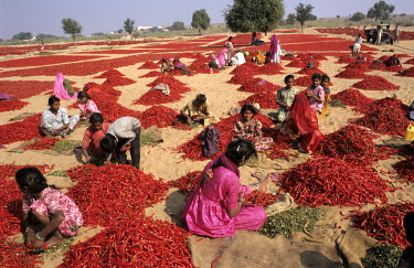 Women and children sort a huge crop of red chillis.