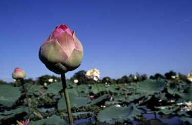 A flower stands proud from a lotus pond plantation.
