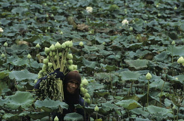A man harvests Lotus buds in a plantation near Bangkok.