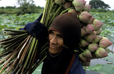 A man with a harvest of Lotus buds picked in  a plantation near Bangkok.