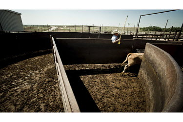 A cowboy in a feedyard in Mead, Kansas, moves cattle through a series of pens. A feedyard is part of the factory farming process where animals are fattened up prior to slaughter. They are mostly fed o...