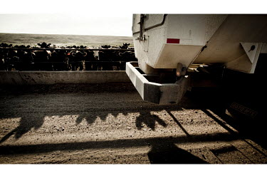 Beef cattle, in a feedyard in South West Kansas, wait for one of their four daily feeds. A vehicle dispenses this computer controlled diet into feeding troughs. A feedyard is part of the factory farmi...