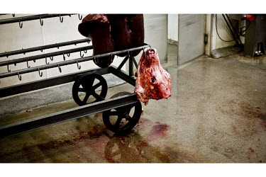 A cow's liver and its head hang from a trolly in a small family owned slaughter and meat packing company in Mead, Kansas. At this firm they typically slaughter ten animals each day but is one of only...
