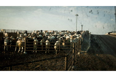 Beef cattle await one of their four daily feeds at a feedyard in Mead Kansas. A feedyard is part of the factory farming process where animals are fattened up prior to slaughter. They are mostly fed on...