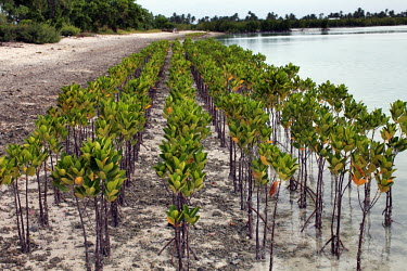 Mangrove seedlings planted by Bonriki Primary School in an initiative supported by the Ministry for the Environment. The project plans to restore natural coastal eco-systems and to protect the coastli...