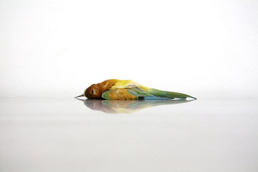 A dead Bee-eater found at Xemxija on 20 April 2011 by Spring Watch Malta lies on a table at a veterinarian in Valetta. It suffered gunshot injury to the left side of its body.Under EU leglislation, hu...