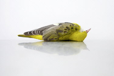 A dead Golden Oriele, recovered from Mellieha on 10 April 2012 by Spring Watch Malta lies on a table at a veterinarian. The post mortem by a vet certified gunshot injury as the cause of death.Under EU...