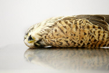 A Common Kestrel recovered from Hal Far by Spring Watch Malta. The bird was found to be suffering multiple fractures to its left wing with embedded shotgun pellets. The bird was put down by a vet. Und...