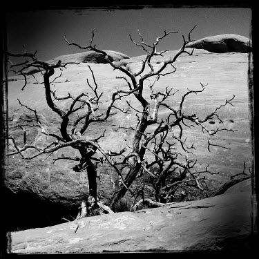 A dead tree against a background of rocks in the Arches National Park.