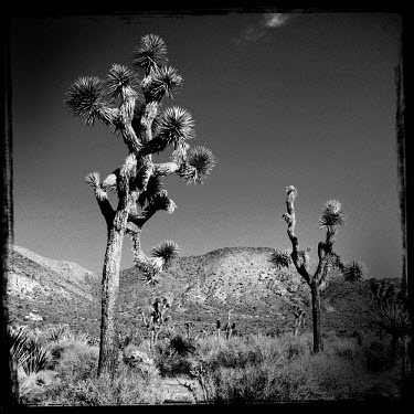 Joshua trees in the Joshue Tree National Park.