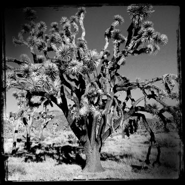 A Joshua Tree in the Joshua Tree National Park.
