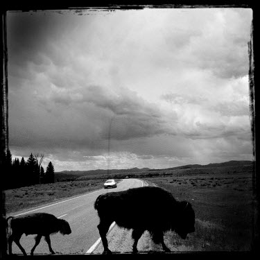 Bild bison cross a road in the Gran Teton National Park.