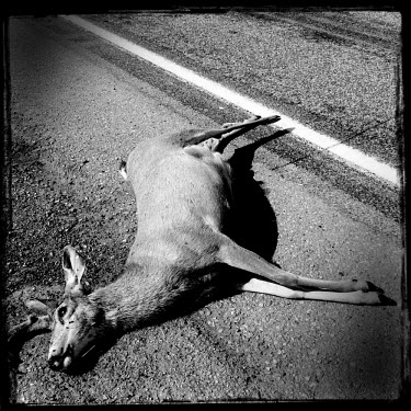 A dead deer, killed by a car, lies on the road.