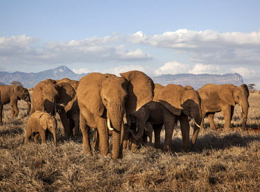 A herd of elephants in Tsavo West National Park.