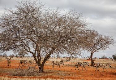 A herd of zebra in Tsavo East National Park.