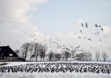 A flock of barnacle geese in a snowy field.
