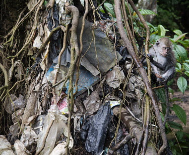 A young monkey sits on a mangrove tree's exposed roots. These are full of rubbish that has been caught during the rising tides.