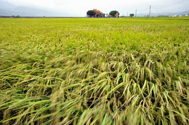 A temple in a rice field growing the best quality rice in Taiwan.