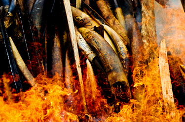 Flames engulf a huge pile of ivory tusks and carvings. Gabon's president, Ali Bongo Ondimba, ordered the country's entire stockpile of Ivory, about 10 million US dollars worth, to be burnt, an act sym...