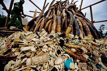 A man prepares to set fire to a huge pile of ivory tusks and carvings. Gabon's president, Ali Bongo Ondimba, ordered the country's entire stockpile of Ivory, about 10 million US dollars worth, to be b...