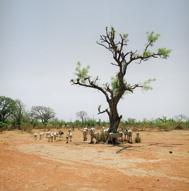 Cattle and goats in the dry sahel landscape near Yola.