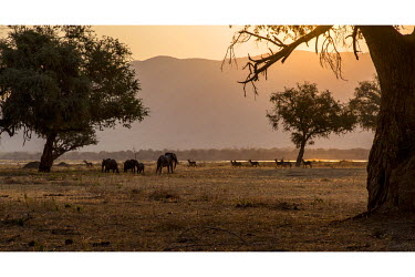 Herds of elephant and impala walk, at sunset, along the banks of River Zambezi in the Mana Pools National Park. This river also forms the border with Zambia, in the background.