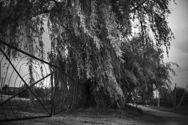 A weeping willow stands at the place where the inhabitants of a Mennonite village in the former Chortitza colony were massacred by the Bolsheviks, during the Russian Revolution. The soldiers came at n...