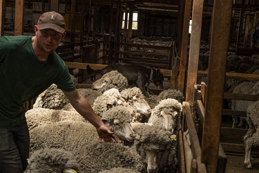 Farm hand Richard Monks sorts the sheep with the help of a sheep dog at the Bothwell sheep property. The four shearers at the farm have 16,000 sheep to shear which is expected to take them around six...