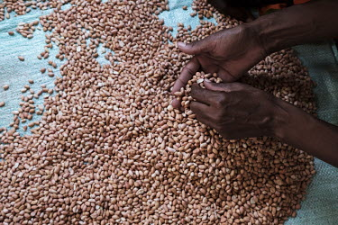 A bag of peanuts is poured out and the bad nuts and husks separated during a demonstration of the making of peanut butter at a community centre. Peanut butter production is one of the income generatin...