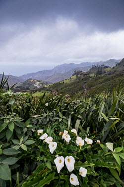 Wild flowers growing on St Helena island in the South Atlantic Ocean.