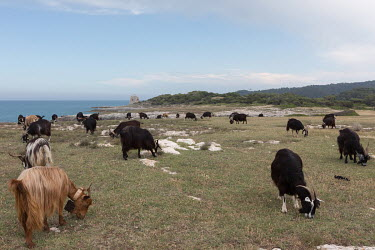 Goats graze on the north western coast of the Gargano peninsula with the Torre San Finale in the background.