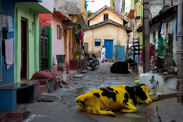 Yellow dyed cows are a common sight during January and February in India's southern states of Kerala and Tamil Nadu where the Sankranthi or Pongol festival is celebrated. The festival occurs every Jan...