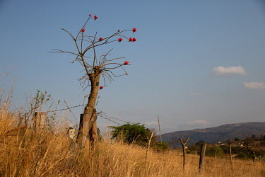 A Coral Tree in bloom.