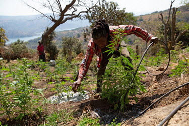 A small scale farmer waters his illicit marijuana plants.