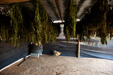 Marijuana plants dry in a covered shelter at an illicit small scale marijuana farm.