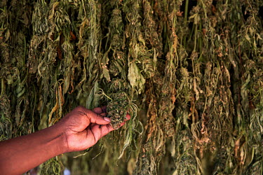 A small scale farmer checks his illicit marijuana plants as they dry out.